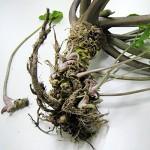 【食品】日本一旨い最高級の生山葵* 静岡県伊豆天城産 – 真妻わさび